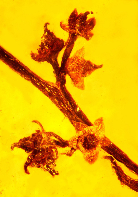 Amber fossil reveals ancient reproduction in flowering plants | Botany teaching & cetera | Scoop.it
