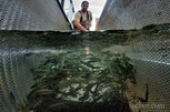 3 million hatchery salmon released into American River in Sacramento - Sacramento Bee   Farming, Forests, Water, Fishing and Environment   Scoop.it