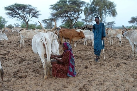 Got Milk? The role of gender, incentives, and nutrition in dairy contract farming in Northern Senegal | Questions de développement ... | Scoop.it