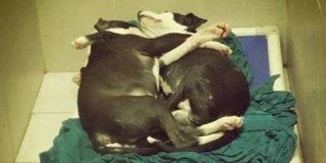 AWW: Loyal Pit Bull Puppy Acts As Seeing Eye Dog For His Blind Brother   Pitbull Puppies   Scoop.it