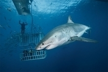 What It's Like: To Shoot Great Whites Outside the Cage | All about water, the oceans, environmental issues | Scoop.it