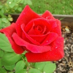 Presidents' Day Pruning & Mr. Lincoln, The Rose | Gaga's Garden | Hydroponics World | Scoop.it