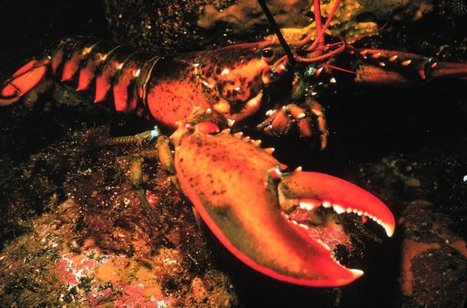 Overpopulation, Climate Change, Nighttime Is Turning Lobsters Into Cannibals | All about water, the oceans, environmental issues | Scoop.it