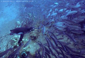 Galapagos Penguins, Spheniscus mendiculus | galapagos penguin | Scoop.it
