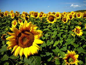 Health Benefits of Sunflower Seeds: Nutrition Facts of Sunflower Seeds | Healthy Food | Scoop.it