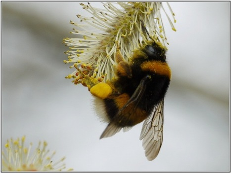 Les pesticides rendent les bourdons moins efficaces pour butiner le pollen des plantes - Actualités News Environnement | Abeilles, intoxications et informations | Scoop.it