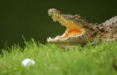 Crocodiles hazard on Australian golf course | Thenewstribe | Golf On The Web | Scoop.it