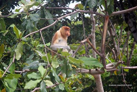 Photo 184   BEKANTAN -WILD INDONESIA   Bekantan - Wild Indonesia   Scoop.it