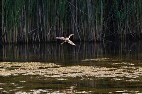 Espèce d'oiseau menacée: le Technoparc retarde des travaux de construction  | Zones humides - Ramsar - Océans | Scoop.it