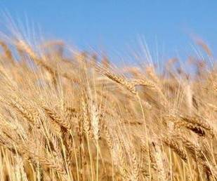 México busca producir 3.6 millones de toneladas de trigo en 2018 | Trigo | Scoop.it