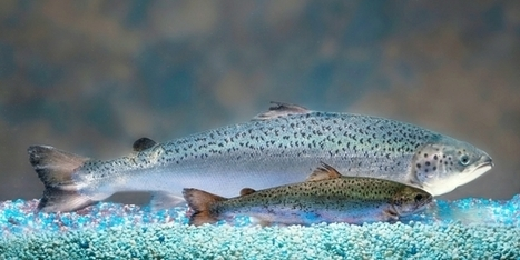 'Super salmon' set to be first GM food approved for sale in the US - The Province | Gestión y competencias profesionales | Scoop.it