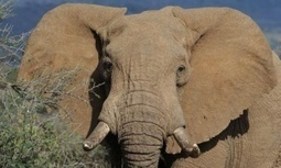 African #elephants could be extinct in wild within decades say experts #extinction | Messenger for mother Earth | Scoop.it