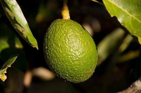 12 Proven Benefits of Avocado (No. 5 is Very Impressive) [you may not have heard of its super benefits] | Green Consumer Forum | Scoop.it