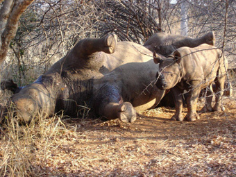 Rhino poacher sentenced to 14 years in jail; 550 rhinos killed this year | Corinne | Scoop.it
