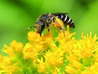 How to protect pollinators in urban landscapes and gardens | Food Culture Community | Scoop.it