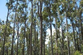 Conservationists slam logging of 600-year-old trees | Australian Plants on the Web | Scoop.it