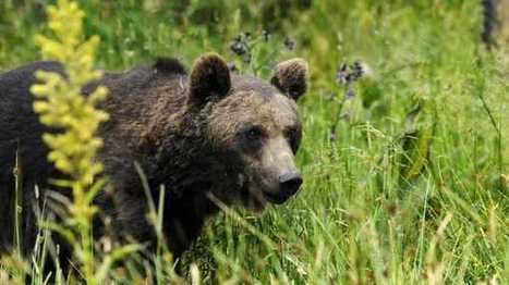 Un nouvel ours réintroduit en mai dans les Pyrénées, côté espagnol   Territoires durables   Scoop.it