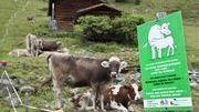 Les vaches sont plus agressives que les bêtes sauvages   montagne   Scoop.it