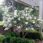 Plant A Smaller Crepe Myrtle This Year | Natural Soil Nutrients | Scoop.it