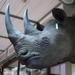 Europol probe into crime gang linked to €500k rhino horn heist - Independent.ie | Kruger & African Wildlife | Scoop.it