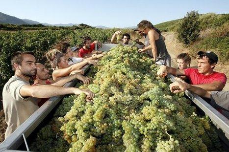 Le village de Patrimonio résonne du pas des premiers vendangeurs | Corse-Matin | Images et infos du monde viticole | Scoop.it