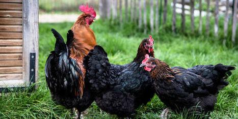 Et si on adoptait des poules pour recycler nos déchets ? | Économie circulaire locale et résiliente pour nourrir la ville | Scoop.it