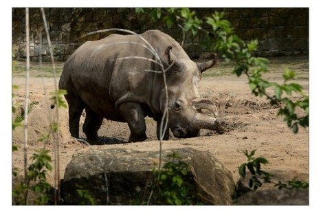 There Are Now Just Four Northern White Rhinos Left On Earth | Lo que leo y otras astrologías. | Scoop.it