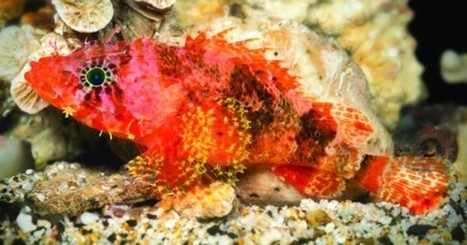 New species of scorpionfish discovered in the Caribbean | Biodiversity protection | Scoop.it