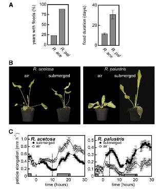 Two Rumex Species from Contrasting Hydrological Niches Regulate Flooding Tolerance through Distinct Mechanisms | Emerging Research in Plant Cell Biology | Scoop.it