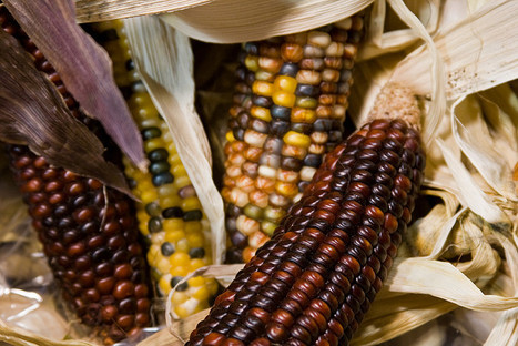 Maize From Argentina May Cool World Markets | Food Security | Scoop.it