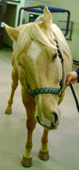 Equine Image Quiz: Neurologic deficits and vestibular dysfunction in a palamino - Veterinary Medicine | Elearning Vet | Scoop.it
