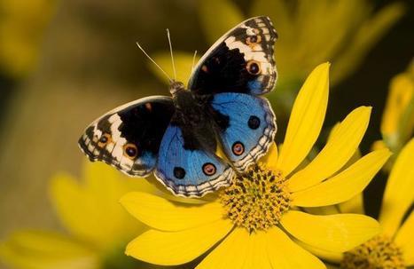Vigie Nature lance un appel à témoins pour comprendre le comportement des papillons | Biodiversité & Relations Homme - Nature - Environnement : Un Scoop.it du Muséum de Toulouse | Scoop.it
