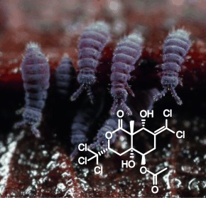 Sigillin A, a unique polychlorinated arthropod deterrent from the snow flea Ceratophysella sigillata   LGN   Scoop.it