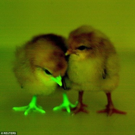Roslin mention: Chicks have been bred with FLUORESCENT beaks and feet | BIOSCIENCE NEWS | Scoop.it