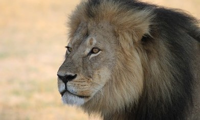 Cecil's murder is the final straw: Trophy hunters need to be named and shamed | Trophy Hunting: It's Impact on Wildlife and People | Scoop.it