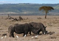 TRAFFIC warns over 500 rhinos could perish this year | What's Happening to Africa's Rhino? | Scoop.it