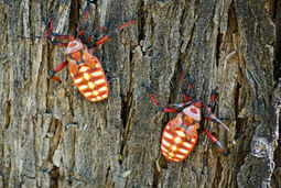 Don't call these bright bugs beetles | Green Valley (AZ) News and Sun | CALS in the News | Scoop.it