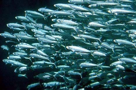 Mercury pollution in marine environment contaminates seafood | Fragments of Science | Scoop.it