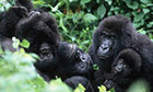 Mountain gorillas in Uganda and Rwanda - in pictures | Biodiversity IS Life  – #Conservation #Ecosystems #Wildlife #Rivers #Forests #Environment | Scoop.it