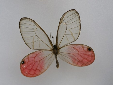 Photo de Papillon exotique : Cithaerias pireta - Pink-tipped Satyr - Pink Glasswing | Fauna Free Pics - Public Domain - Photos gratuites d'animaux | Scoop.it