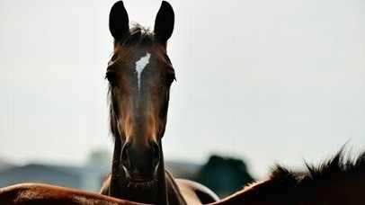 "Congress Acts: Three ""SAFE"" Lawmakers Will Try to Ban Horse Slaughter for Food -- ABC News 