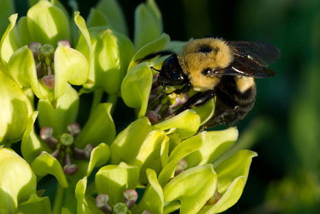 Plight of the Bumble Bee: Conserving Imperiled Native Pollinators | Pollinator conservation and diversity | Scoop.it