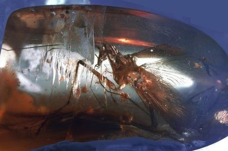 Un insecte préhistorique retrouvé intact dans un morceau d'ambre - SciencePost | ichtyologie | Scoop.it