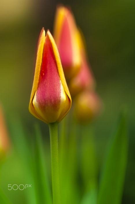 Tulip by Dorota Adamska | My Photo | Scoop.it