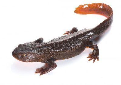Thousands of Southeast Asian newts being collected from the wild for pet trade | Conservation | Scoop.it