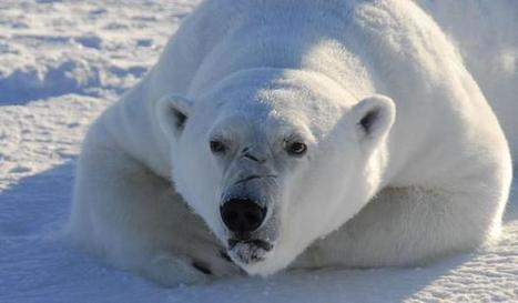 Chemical pollution is causing brain damage in polar bears | Marine Conservation and Ecology | Scoop.it