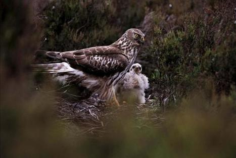Hen harriers virtually exterminated in northeast Scotland | My Scotland | Scoop.it