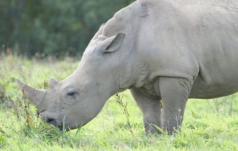 No Trophy Hunt! White rhino spared by High Court ruling | Trophy Hunting: It's Impact on Wildlife and People | Scoop.it