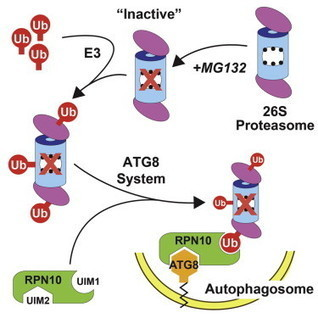 Autophagic Degradation of the 26S Proteasome Is Mediated by the Dual ATG8/Ubiquitin Receptor RPN10 in Arabidopsis | Plant-Microbe Interaction | Scoop.it