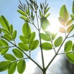 New Study Shows Moringa Oleifera Scores Highest Antioxidant Content in Food | Miracle Moringa | Scoop.it